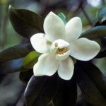 MagnoliaVirginiana_Sweetbay